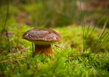 Boletus Badius Royalty Free Stock Photos