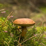 Boletus Badius Stock Photos