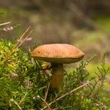 Boletus Badius. Close-up of mushroom in autumn forest Stock Photos