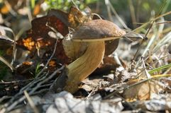 Boletus badius common brown edible bay bolete, poored mushroom in forest Royalty Free Stock Photos