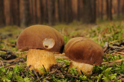 Boletus badius fungus Stock Images