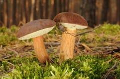 Boletus badius fungus Stock Image