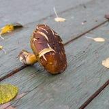 Boletus badius mushroom Royalty Free Stock Photography
