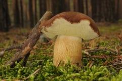 Boletus badius mushroom Stock Photography