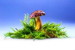 Boletus badius mushroom in the moss. Boletus badius mushroom in the moss on the blue background Stock Photo