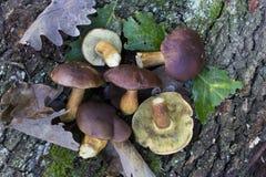 Boletus badius mushrooms Royalty Free Stock Images