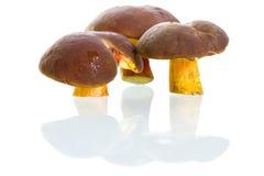 Boletus badius mushrooms over white. Boletus badius mushrooms isolated on white with reflection Royalty Free Stock Images