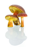 Boletus badius mushrooms with reflection Royalty Free Stock Photo