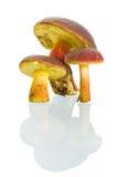 Boletus badius mushrooms with reflection. Boletus badius mushrooms isolated on white with reflection Royalty Free Stock Photo