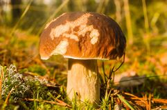 Boletus Royalty Free Stock Photography