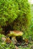 Boletus bianco del fungo edulis Fotografia Stock