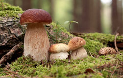 Boletus Stock Photography