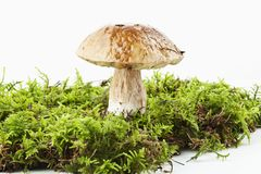 Boletus (Boletus edulis) Stock Photography