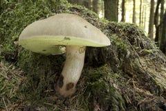 Boletus Calopus - Mushroom Stock Photo
