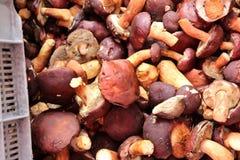Boletus cep cepe eatable mushroom Stock Photo