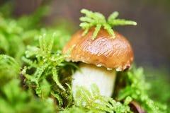 Boletus cep mushroom in a forest Stock Photos