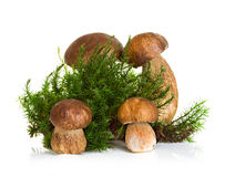 Boletus, cep mushroom on forest moss isolated on white Stock Photo