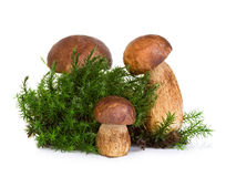 Boletus, cep mushroom on forest moss isolated on white Royalty Free Stock Image