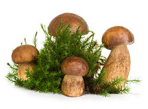 Boletus, champignon de cèpe sur la mousse de forêt d'isolement sur le blanc Photographie stock libre de droits