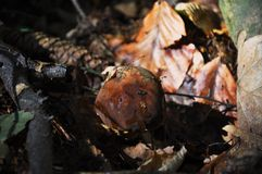 Boletus che cresce dalla terra fra le foglie ed i rami Fotografie Stock