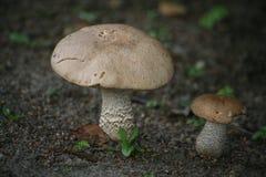 Boletus comestible de champignon de forêt Photographie stock libre de droits