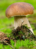 Boletus Stock Photos