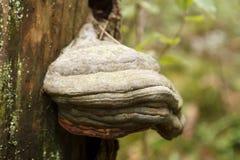 Boletus cryptarum, a tree fungi Royalty Free Stock Images