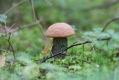 Boletus d'orange-capuchon de champignon de couche Images stock