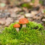 boletus d'Orange-chapeau Photographie stock libre de droits