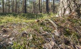Boletus dans la forêt Images libres de droits