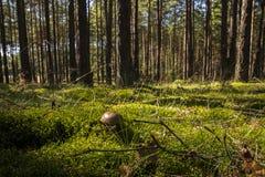 Boletus dans la forêt sauvage Image stock
