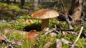 Boletus dans les bois Image libre de droits