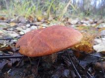 Boletus de champignon dans la forêt image stock