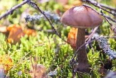 Boletus de chapeau de Brown dans l'habitat naturel, paysage Photo libre de droits