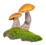 Boletus de deux orange-chapeaux dans la mousse verte d'isolement sur le blanc Photos libres de droits