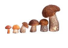 Boletus del arancio-cappuccio del fungo e boletus Immagine Stock Libera da Diritti