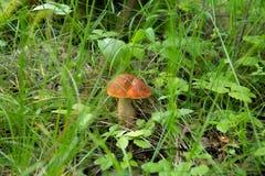 boletus del Arancio-cappuccio nell'erba Fotografia Stock