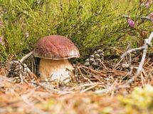 Boletus del fungo Fotografia Stock Libera da Diritti