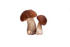Boletus del fungo Fotografia Stock