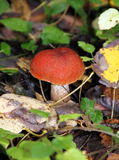 Boletus del fungo o del arancio-cappuccio di Aspen Immagine Stock Libera da Diritti