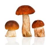 boletus della Arancio-protezione e fungo di porcini Fotografie Stock Libere da Diritti