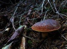 Boletus dettagliato nella foresta profonda della repubblica Ceca fotografie stock libere da diritti