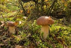 Boletus deux s'élevant dans la forêt Image stock