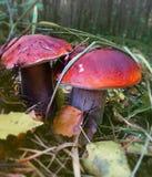 Boletus due della foresta di fine nei funghi su - Fotografie Stock Libere da Diritti