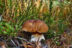 Boletus edible mushroom Stock Image