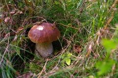 Boletus edulis ή CEP, κουλούρι πενών, porcino, βασιλιάς bolete Μανιτάρι σε it& x27 φυσικός βιότοπος του s Μανιτάρια στο δάσος φθι Στοκ Εικόνες