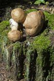 boletus edulis δασικός s σκίουρος ψωμιού Στοκ Εικόνα