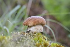 Boletus edulis είναι εδώδιμο μανιτάρι Στοκ Εικόνες