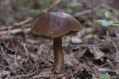 Boletus edulis στο θερινό δάσος Στοκ φωτογραφία με δικαίωμα ελεύθερης χρήσης
