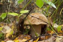 Boletus edulis το φθινόπωρο Στοκ Εικόνες